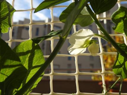 Flowering, climbing, peas.