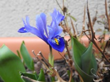 An iris, a survivior from our last house.