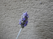 Lavender Bloom